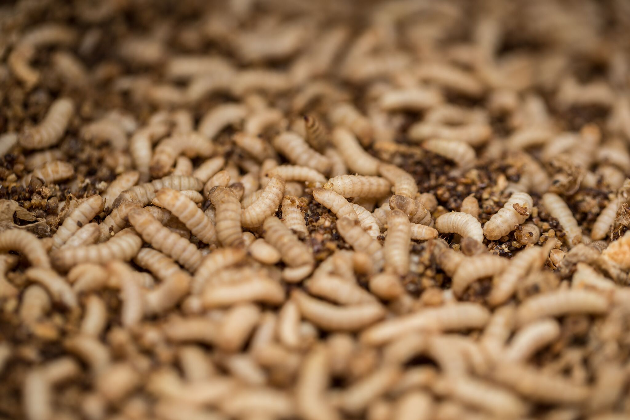 larvae organic waste bioconversion animal feed